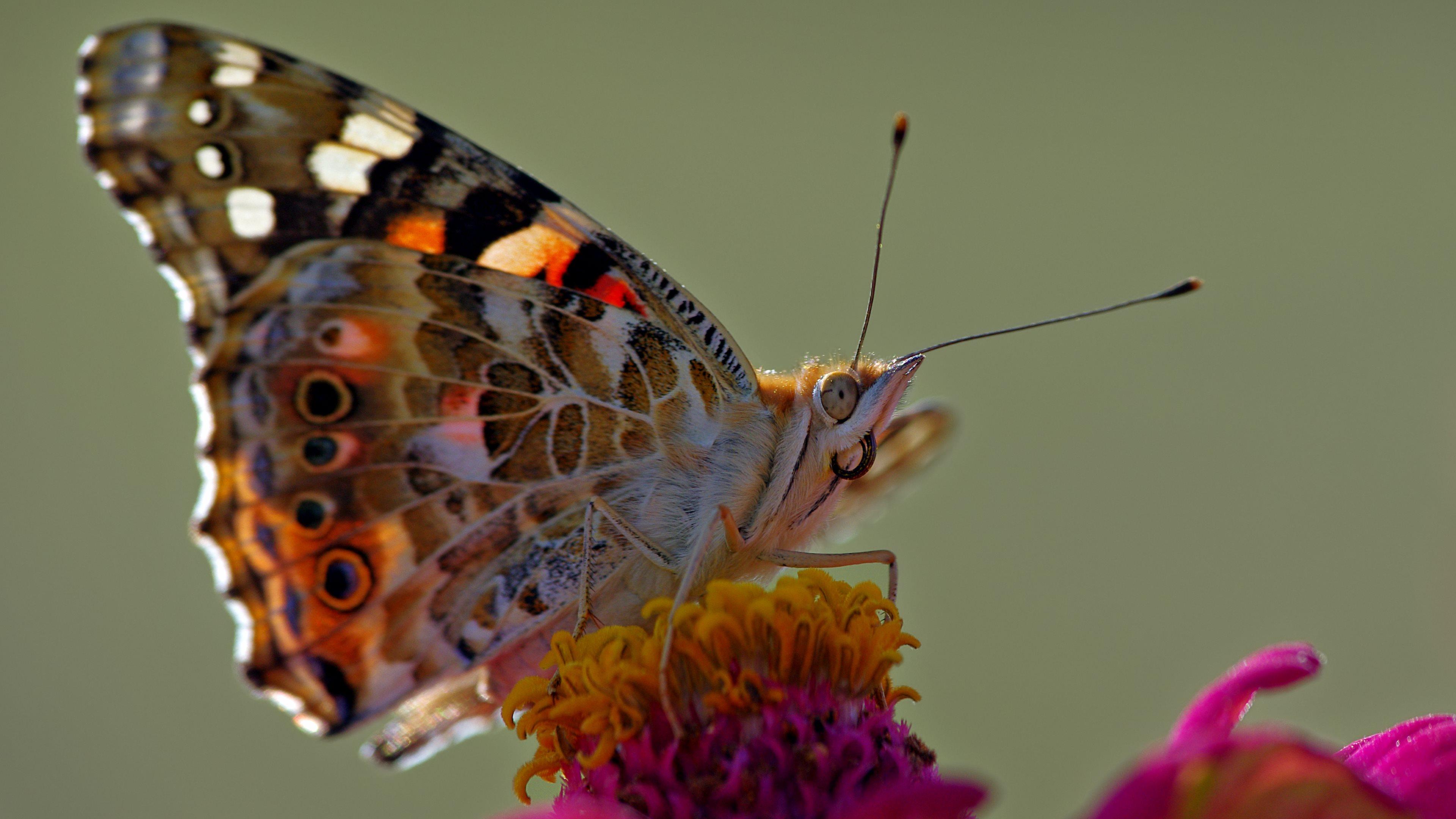 Butterfly Macro 4k Ultra HD Sfondo and Sfondo | 3840x2160 ...