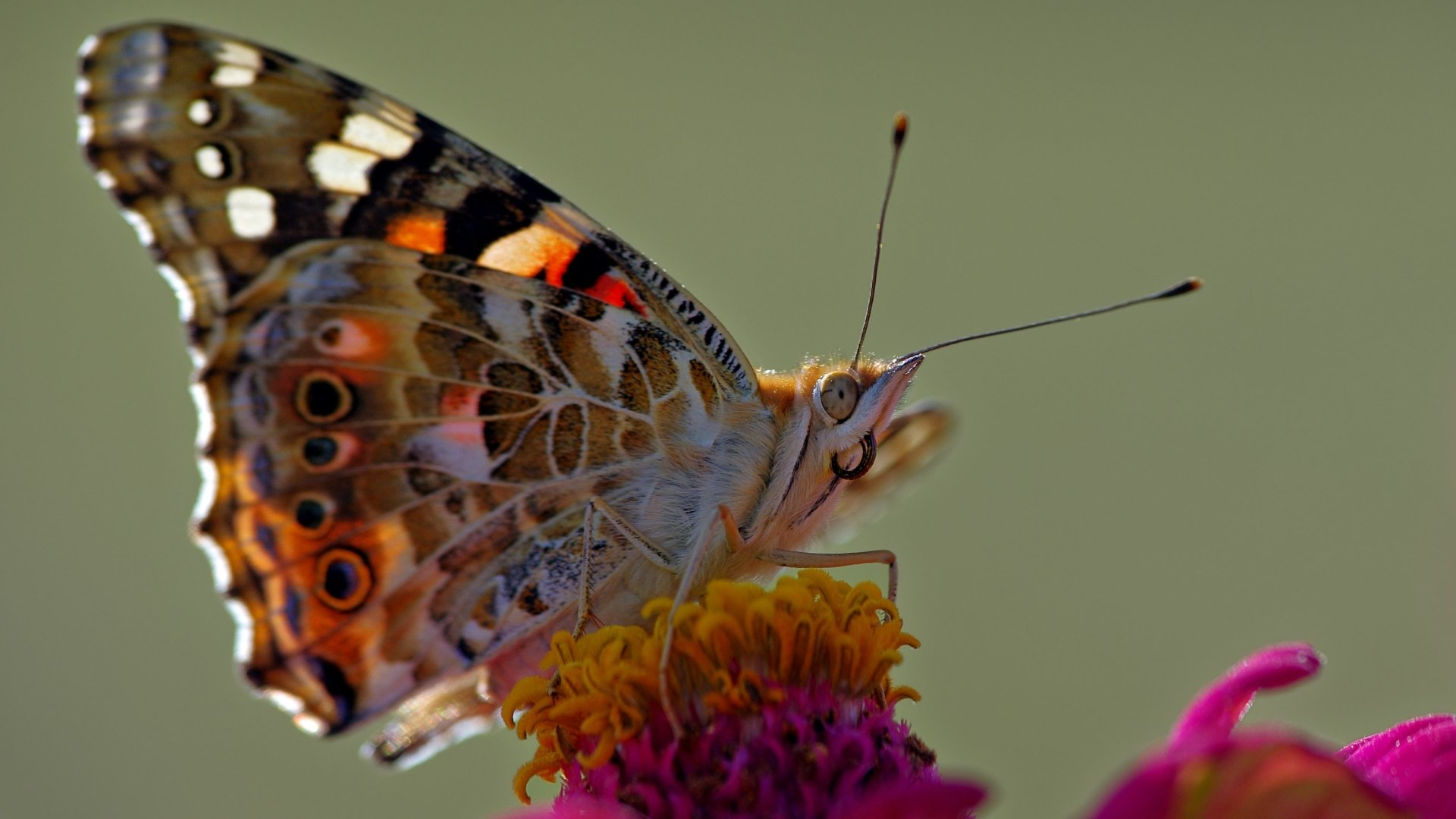 Butterfly macro 4k ultra hd wallpaper and background image 3840x2160 id 549955 - Ultra 4k background images ...