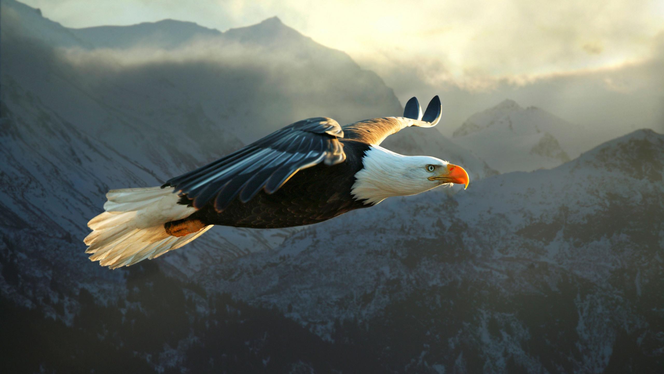 Águila Calva Fondo de pantalla HD | Fondo de Escritorio | 2560x1440 |  ID:552914 - Wallpaper Abyss
