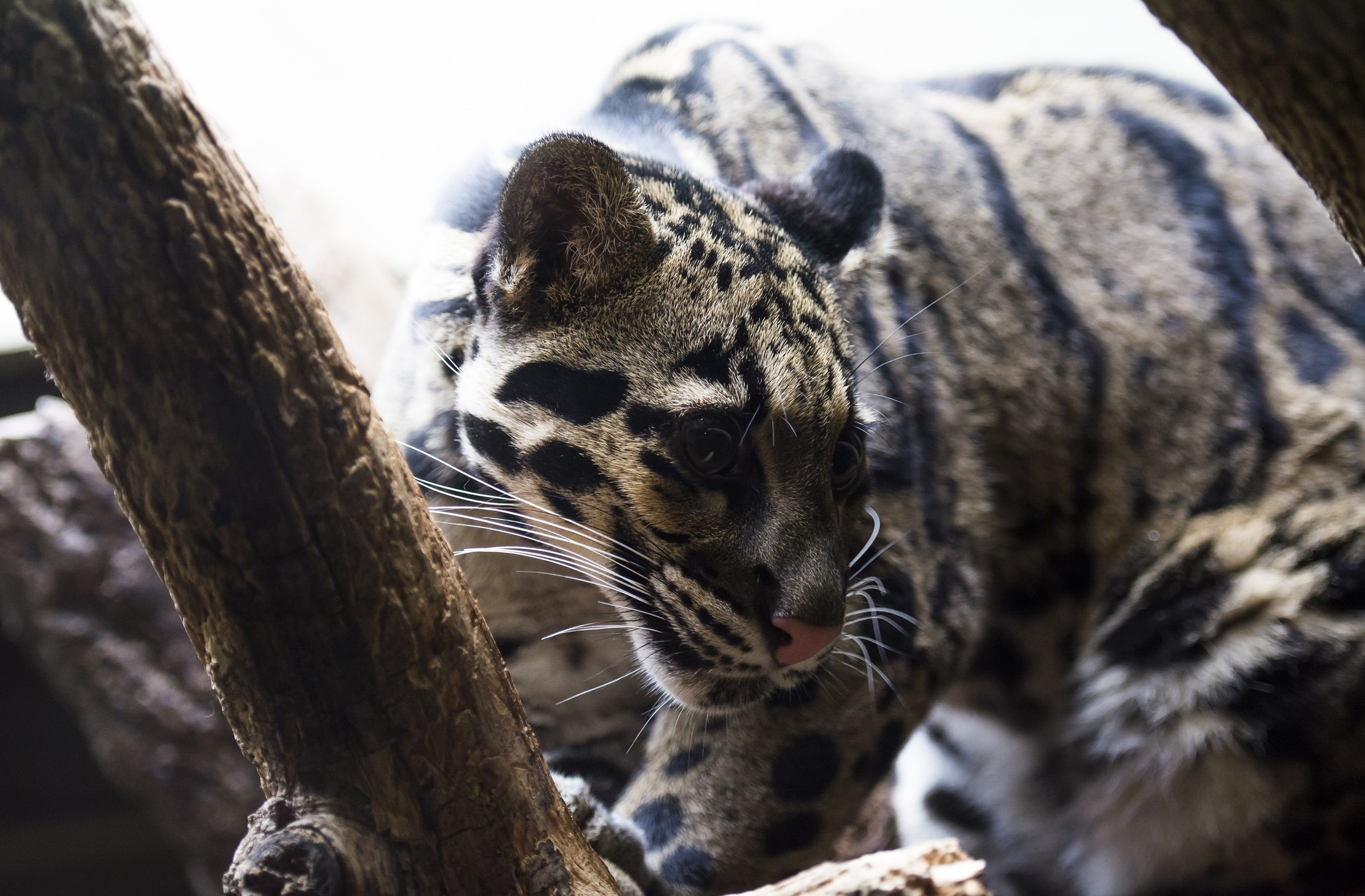 clouded leopard wallpaper - photo #13