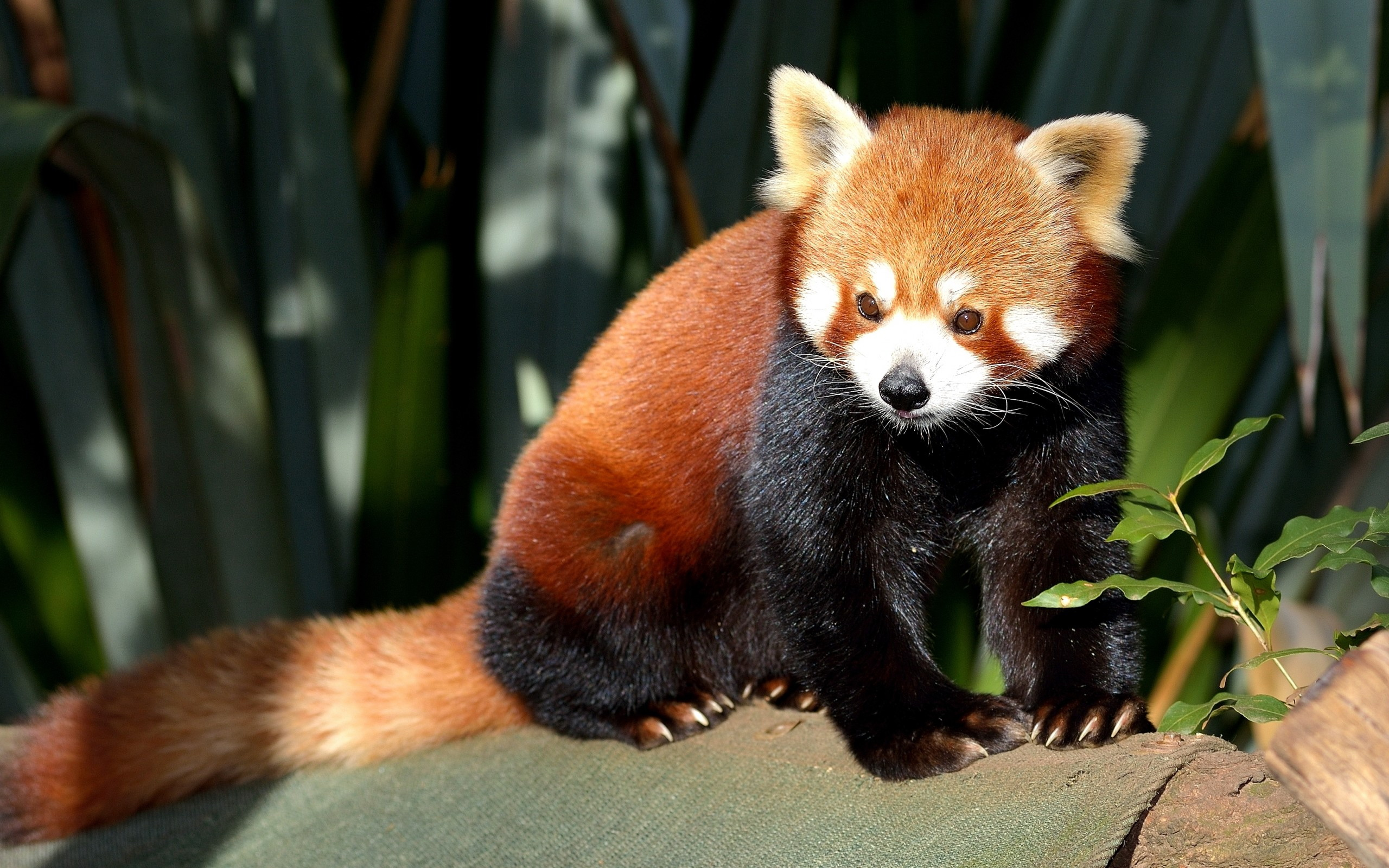 236 Red Panda Hd Wallpapers Background Images Wallpaper Abyss