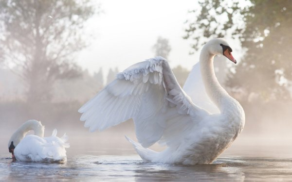 Animal Mute swan Birds Swans Swan HD Wallpaper | Background Image
