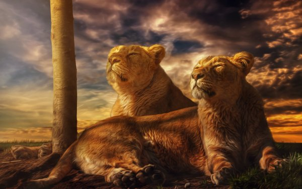 Animal Lion Cats Lioness Evening HD Wallpaper | Background Image