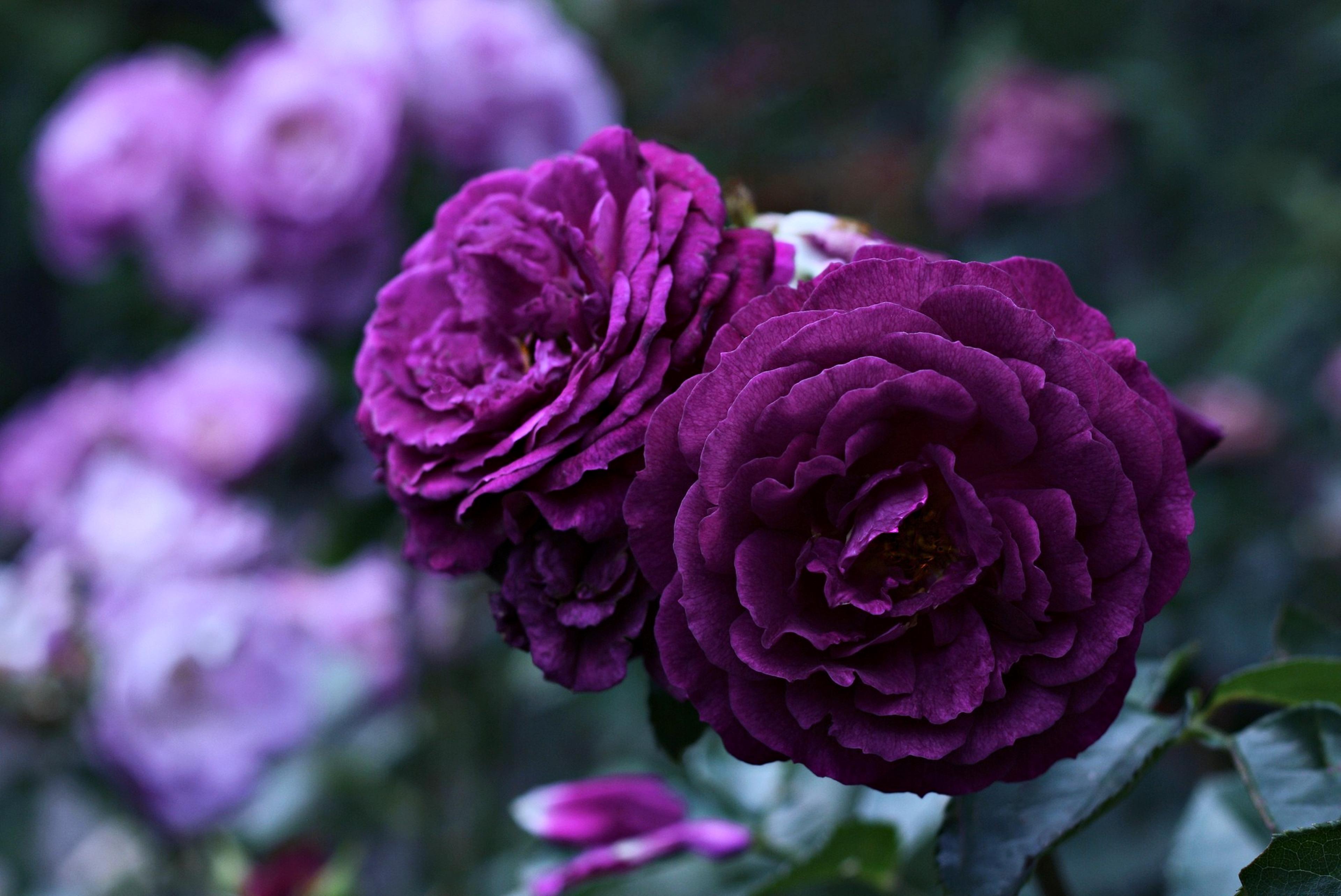 Rose violet 4k ultra hd wallpaper and background image - Big rose flower wallpaper ...