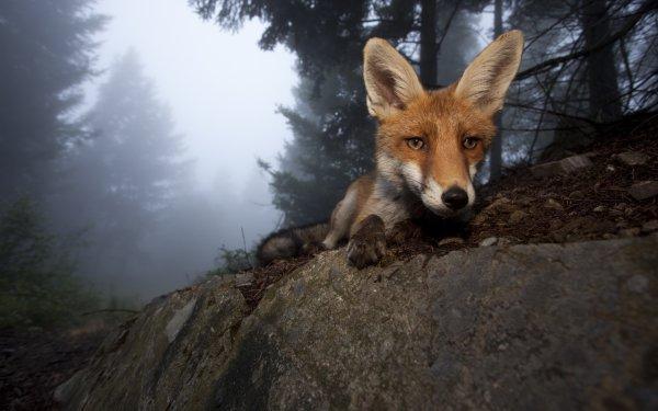 Animal Fox Face Head Wildlife HD Wallpaper   Background Image