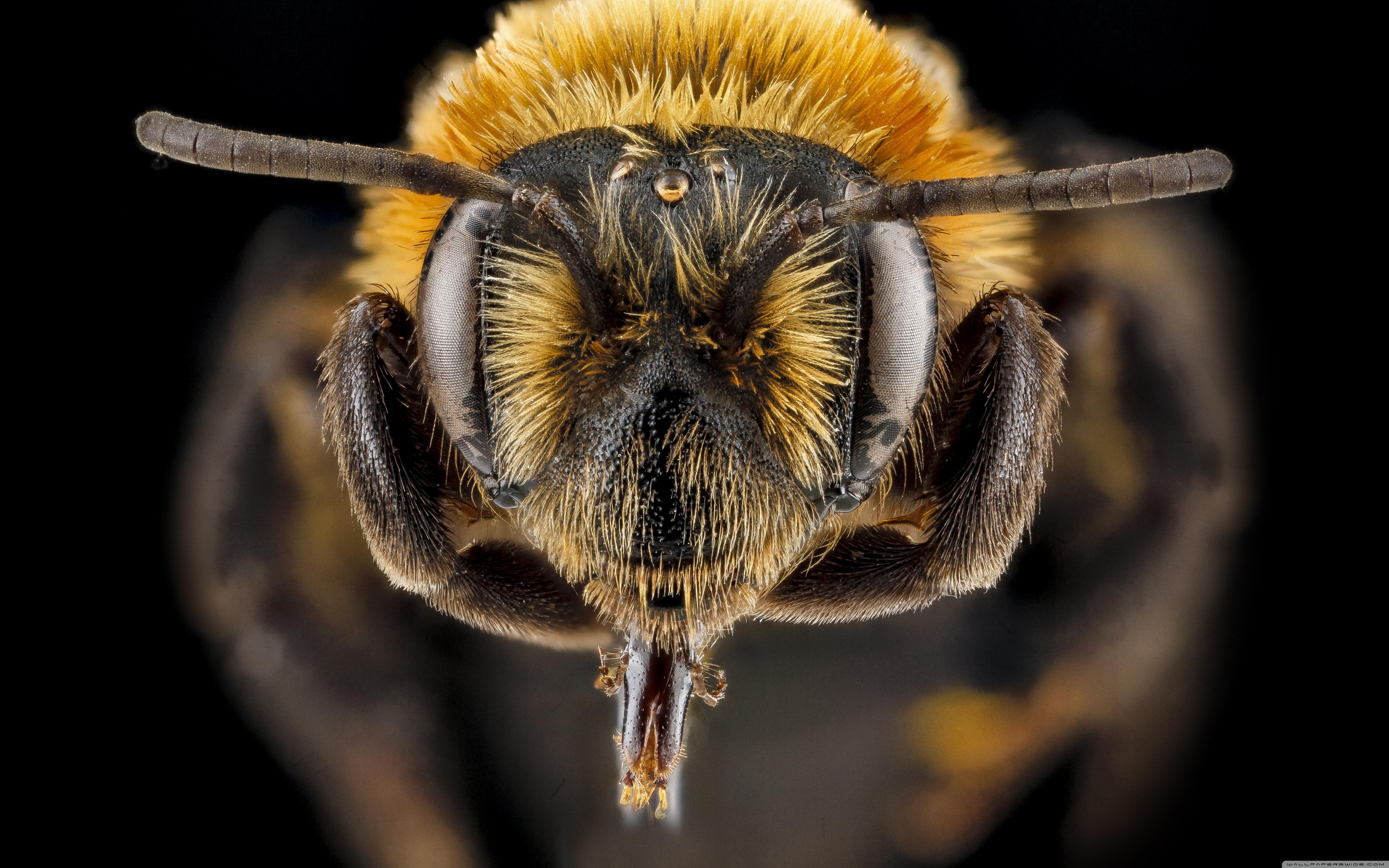 Bee Computer Wallpapers, Desktop Backgrounds