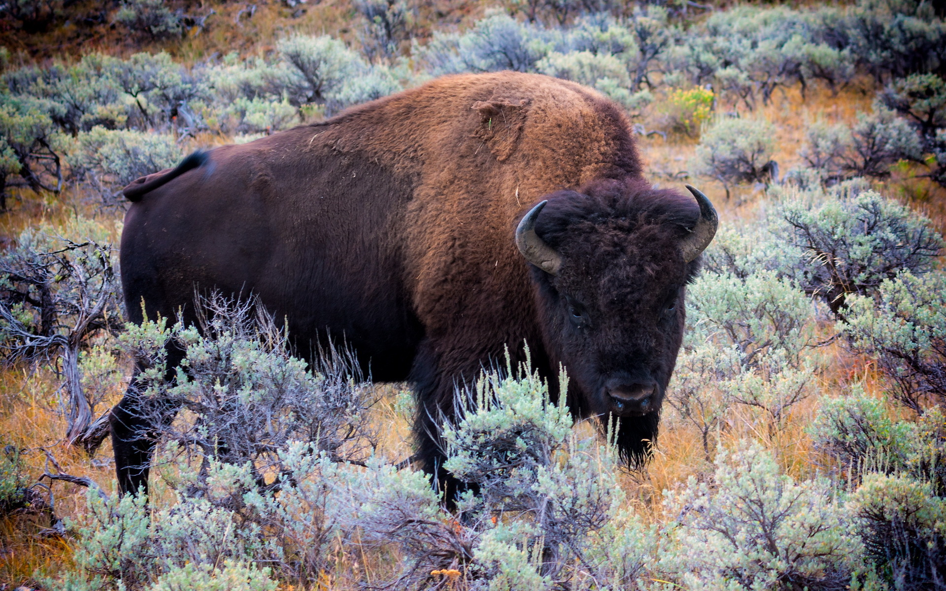 American Bison Full HD Wallpaper and Background Image ...