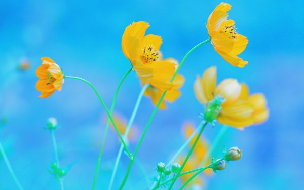 Earth Cosmos Flowers Nature Flower Yellow Flower Blue HD Wallpaper   Background Image