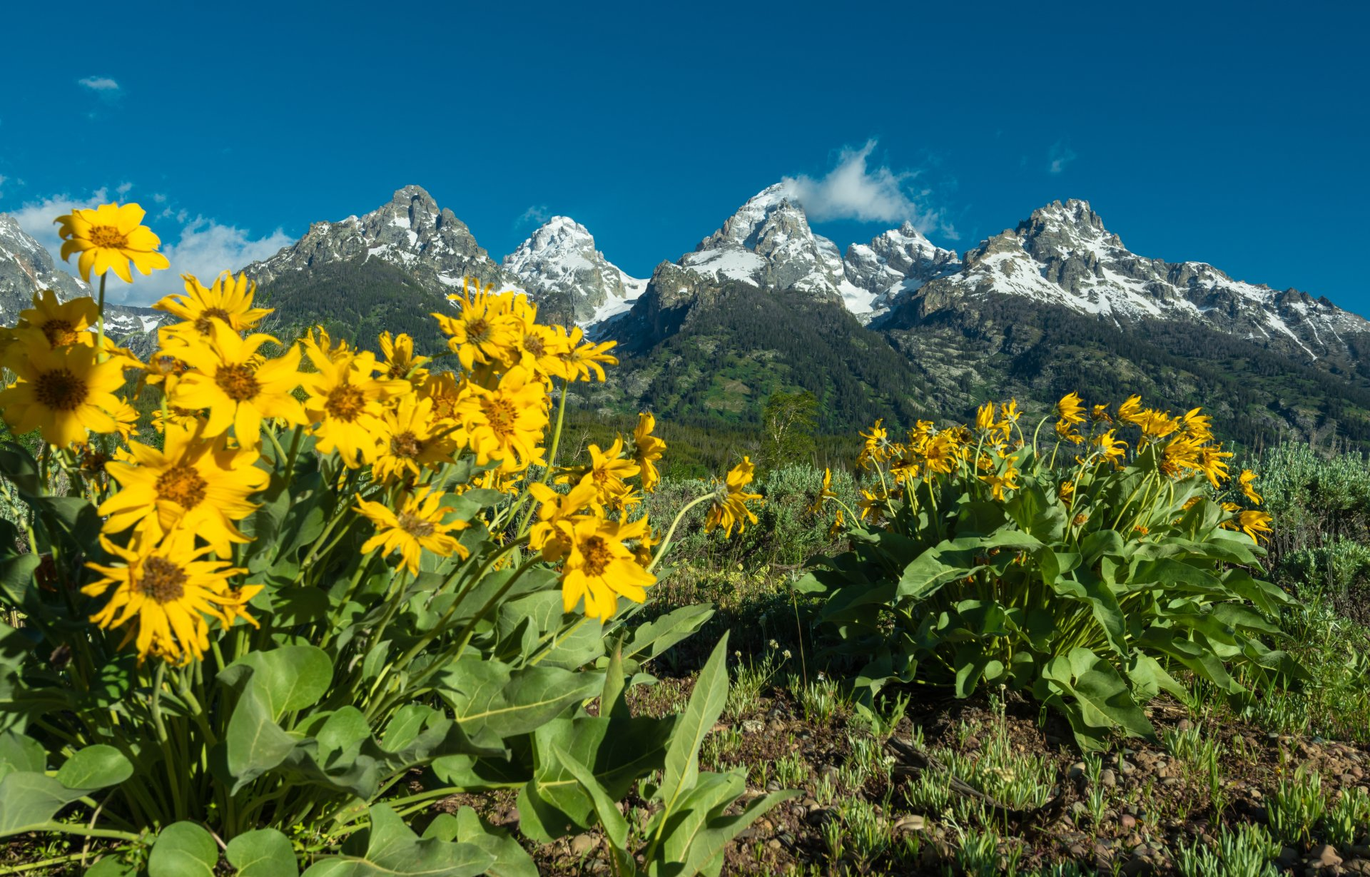 自然 - 春季  The Teton Range Arrowleaf Balsamroot Grand Teton National Park 花 Wyoming 壁纸