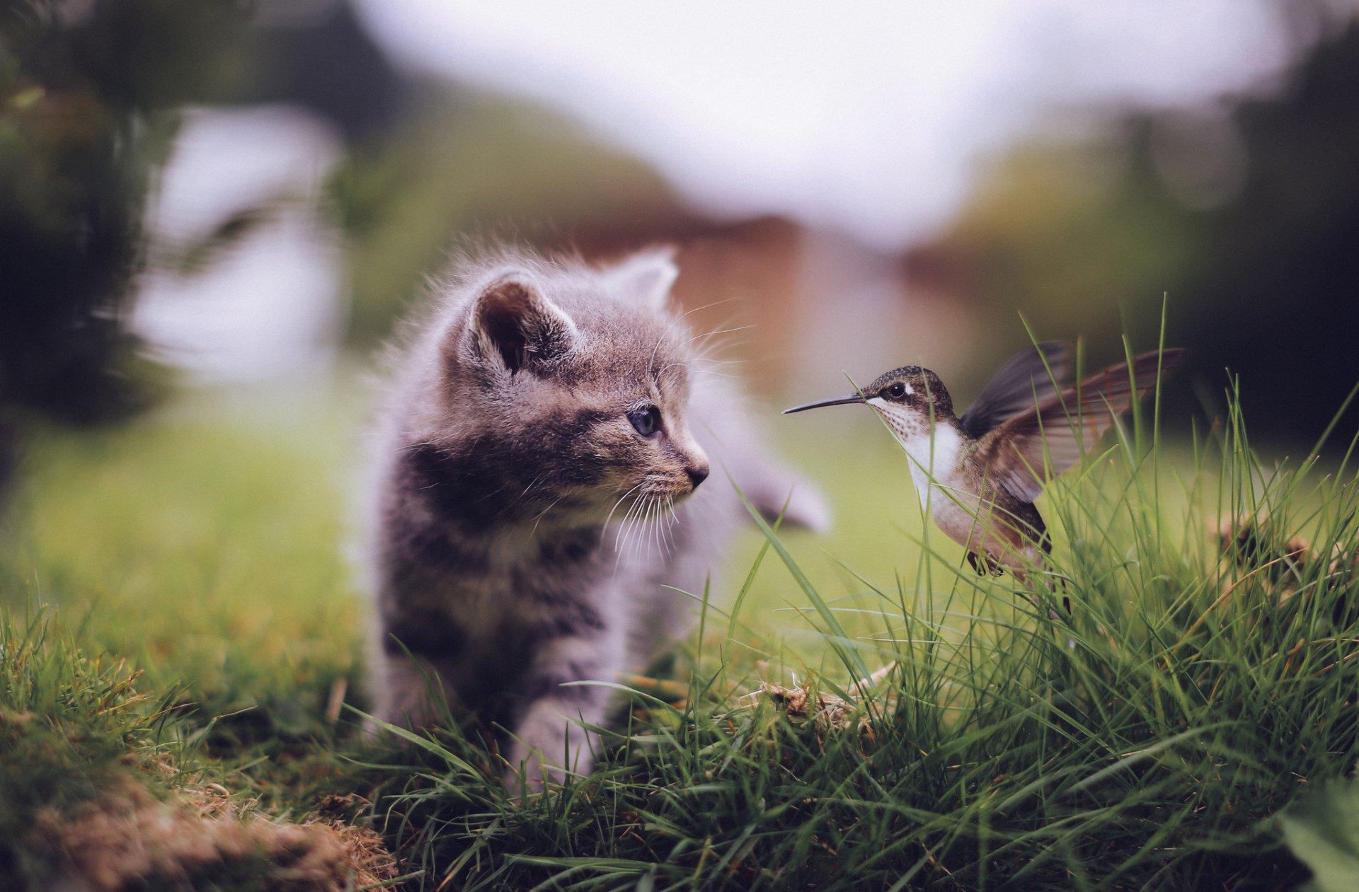 Animal - Cute  Hummingbird Bird Kitten Animal Wallpaper