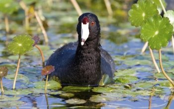 Preview Animal - American Coot Art