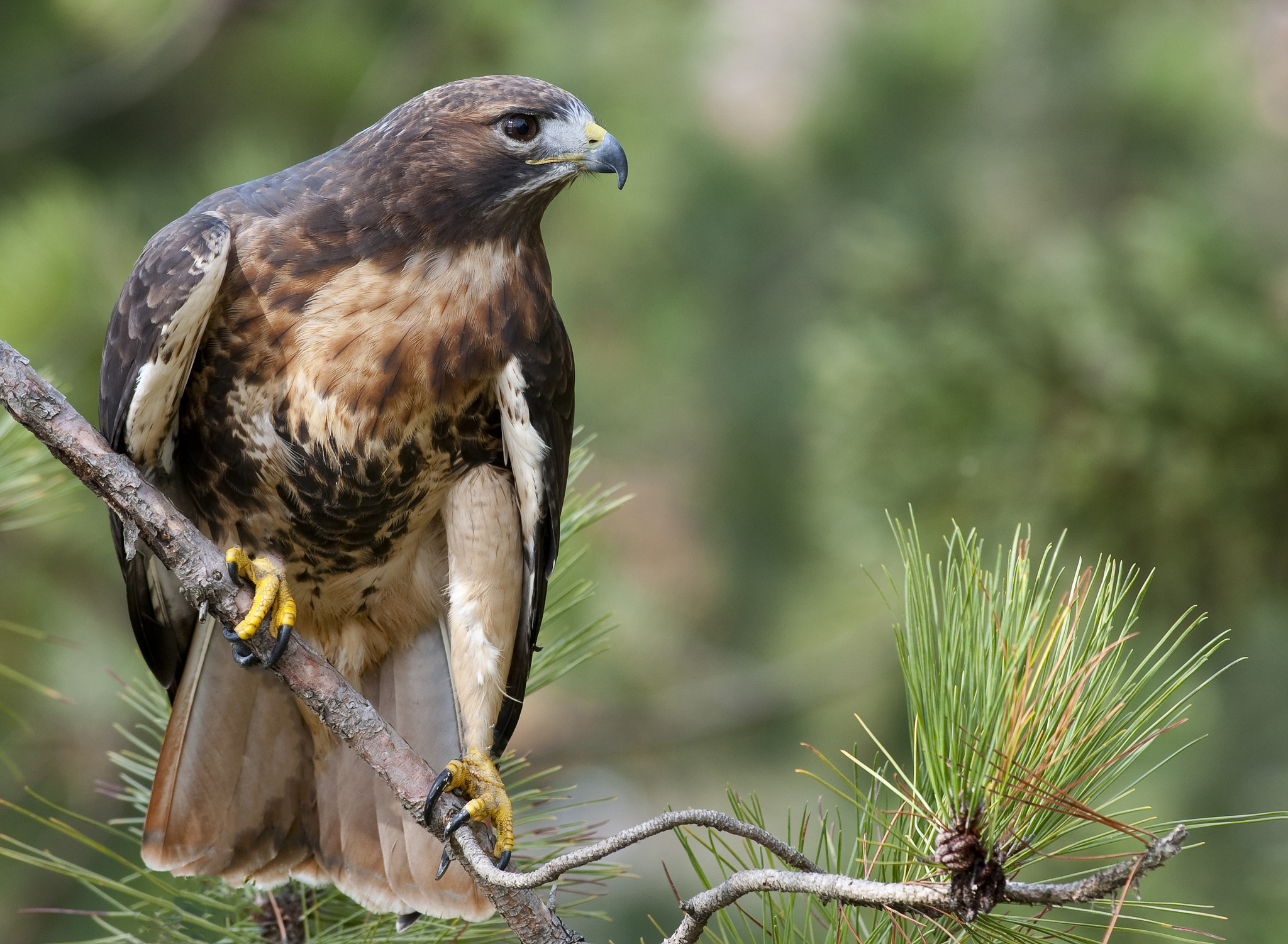 Hawk full hd wallpaper and background image 2048x1502 - Red tailed hawk wallpaper ...