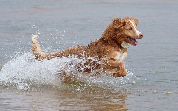 Animal Nova Scotia Duck Tolling Retriever Dogs Dog HD Wallpaper   Background Image