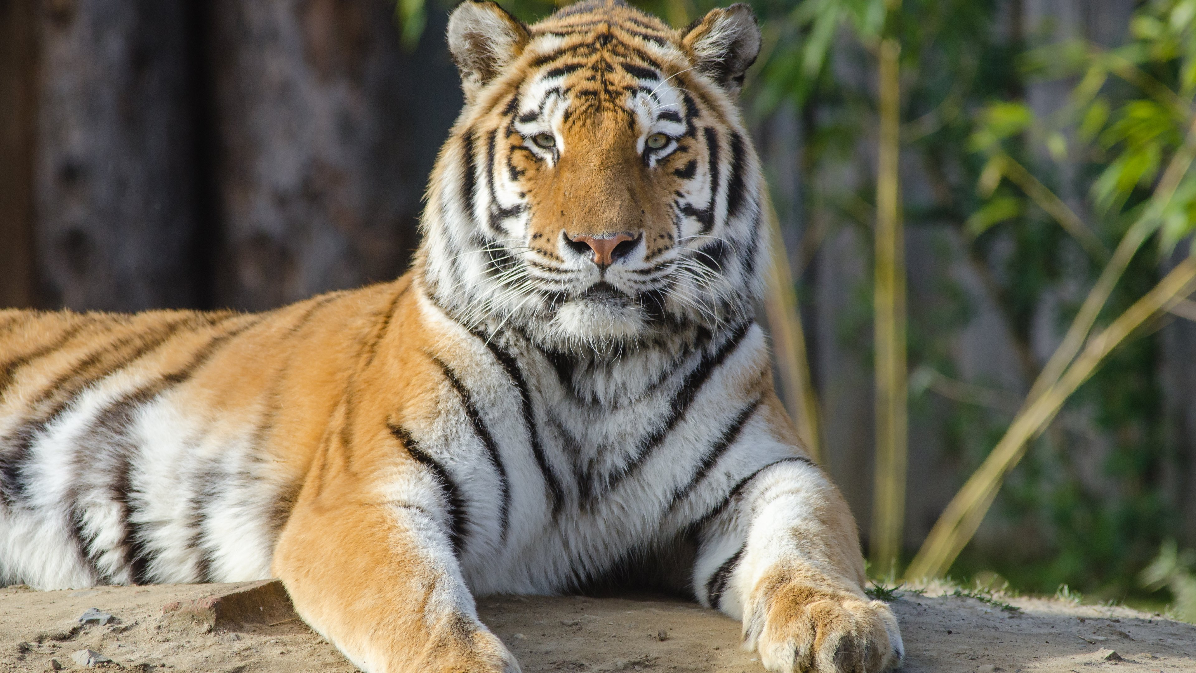 Tiger at a zoo 4k ultra hd wallpaper background image - Ultra hd animal wallpapers ...