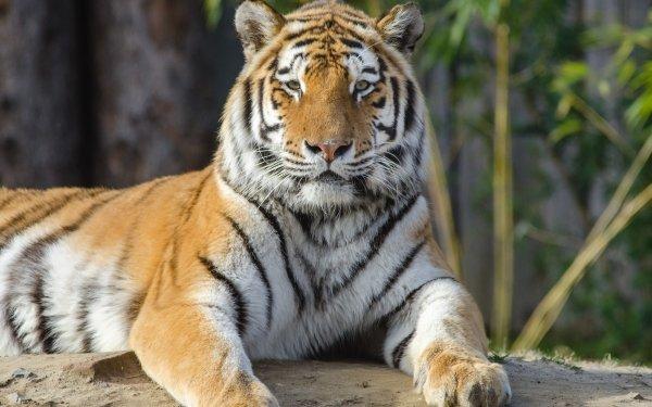 Animal Tiger Cats Big Cat Cat HD Wallpaper   Background Image