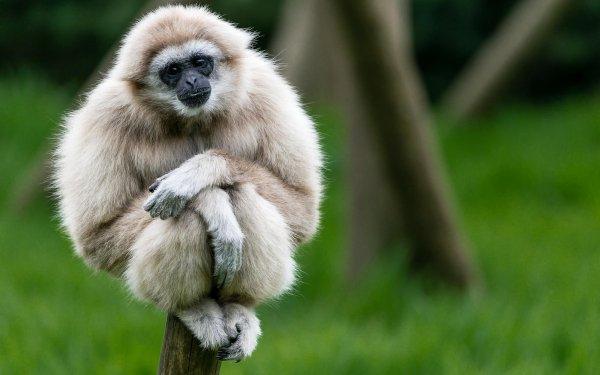 Animal Gibbon Monkeys Monkey Primate HD Wallpaper | Background Image