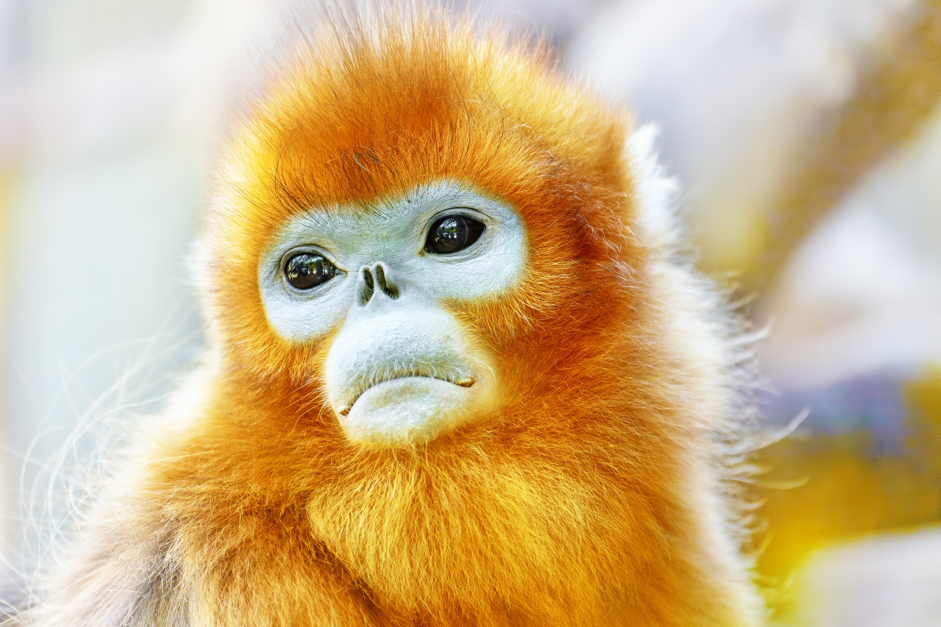 golden snubnosed monkey full hd wallpaper and background