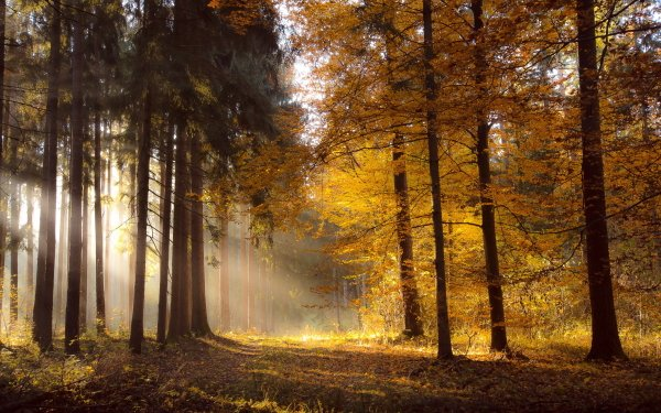 Earth Sunbeam Nature Forest Fall HD Wallpaper   Background Image