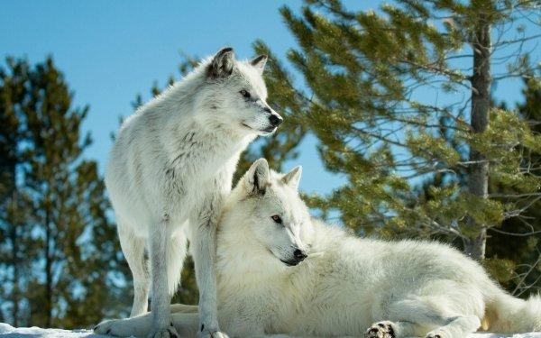 Animal Wolf White Wolf Wildlife HD Wallpaper   Background Image