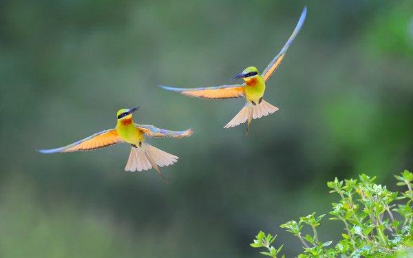 Animal Bee-eater Birds Bee-Eaters Bird Bokeh HD Wallpaper | Background Image