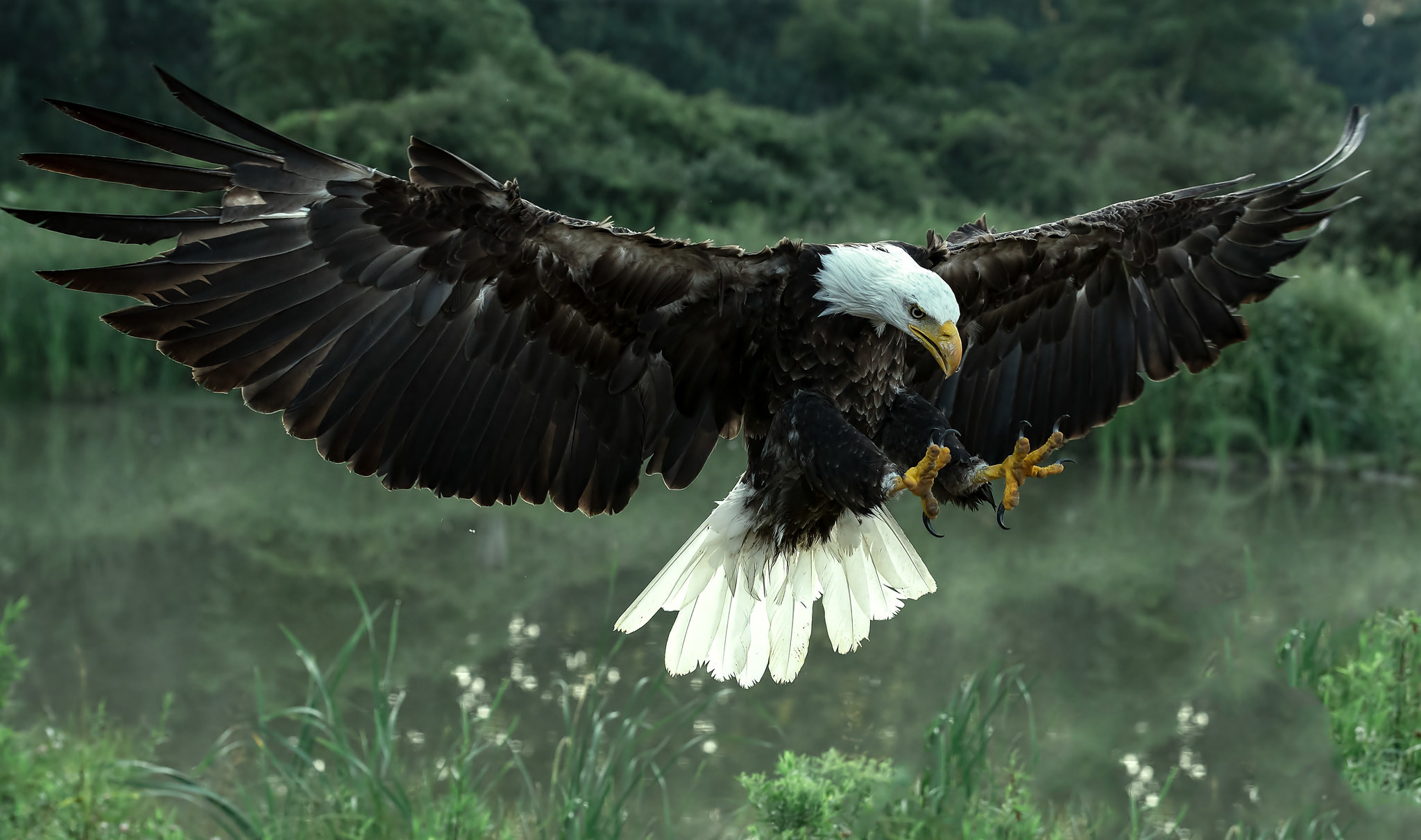 284 Bald Eagle Hd Wallpapers Background Images Wallpaper