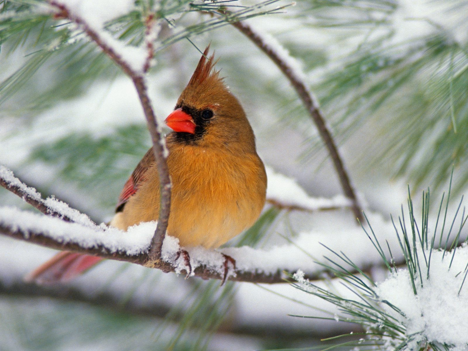 Cardinal on snowy pine branch fond d 39 cran and arri re for Fond ecran hiver animaux