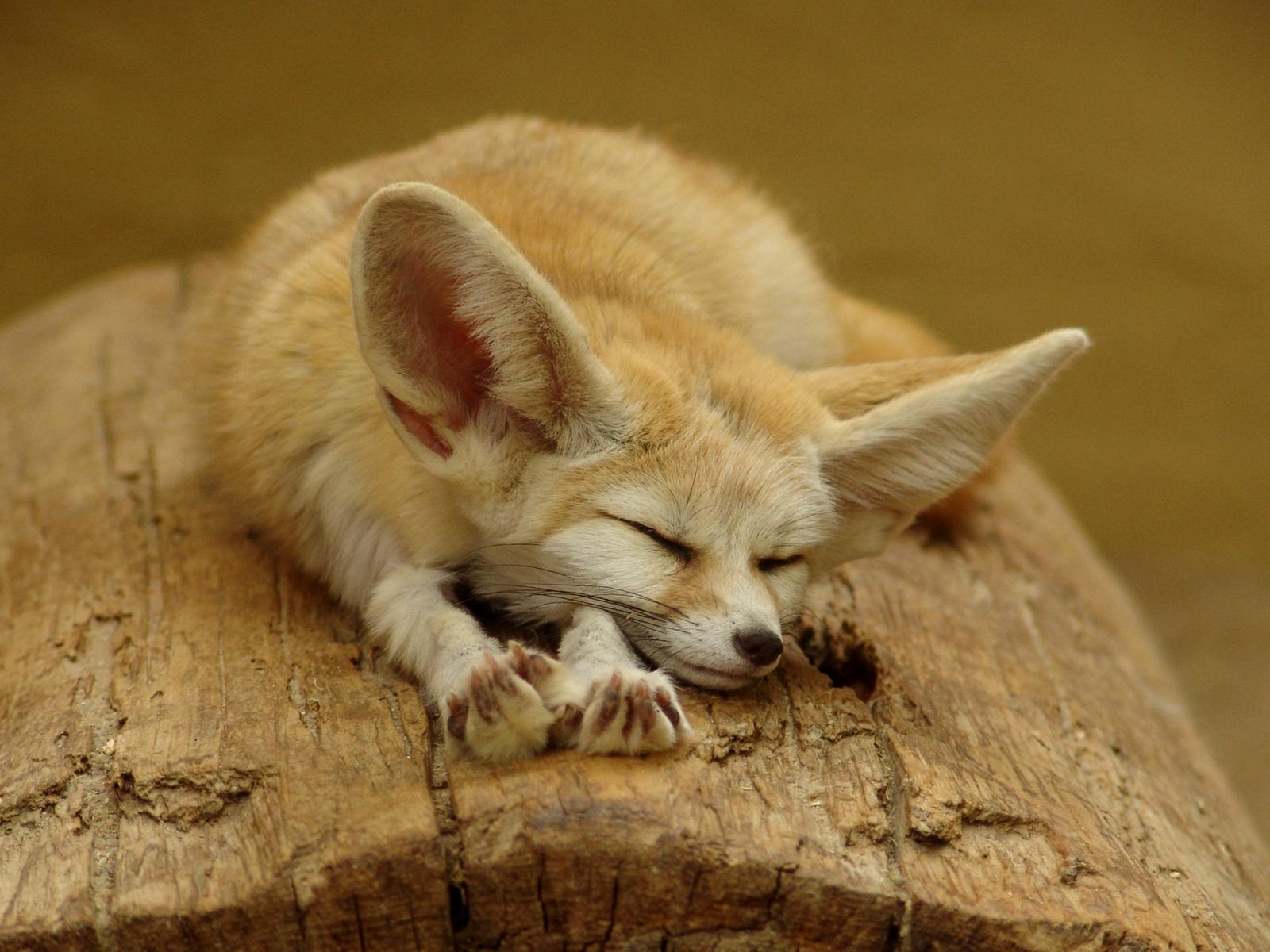 Cute - cuter - fennec fox by woxys on DeviantArt