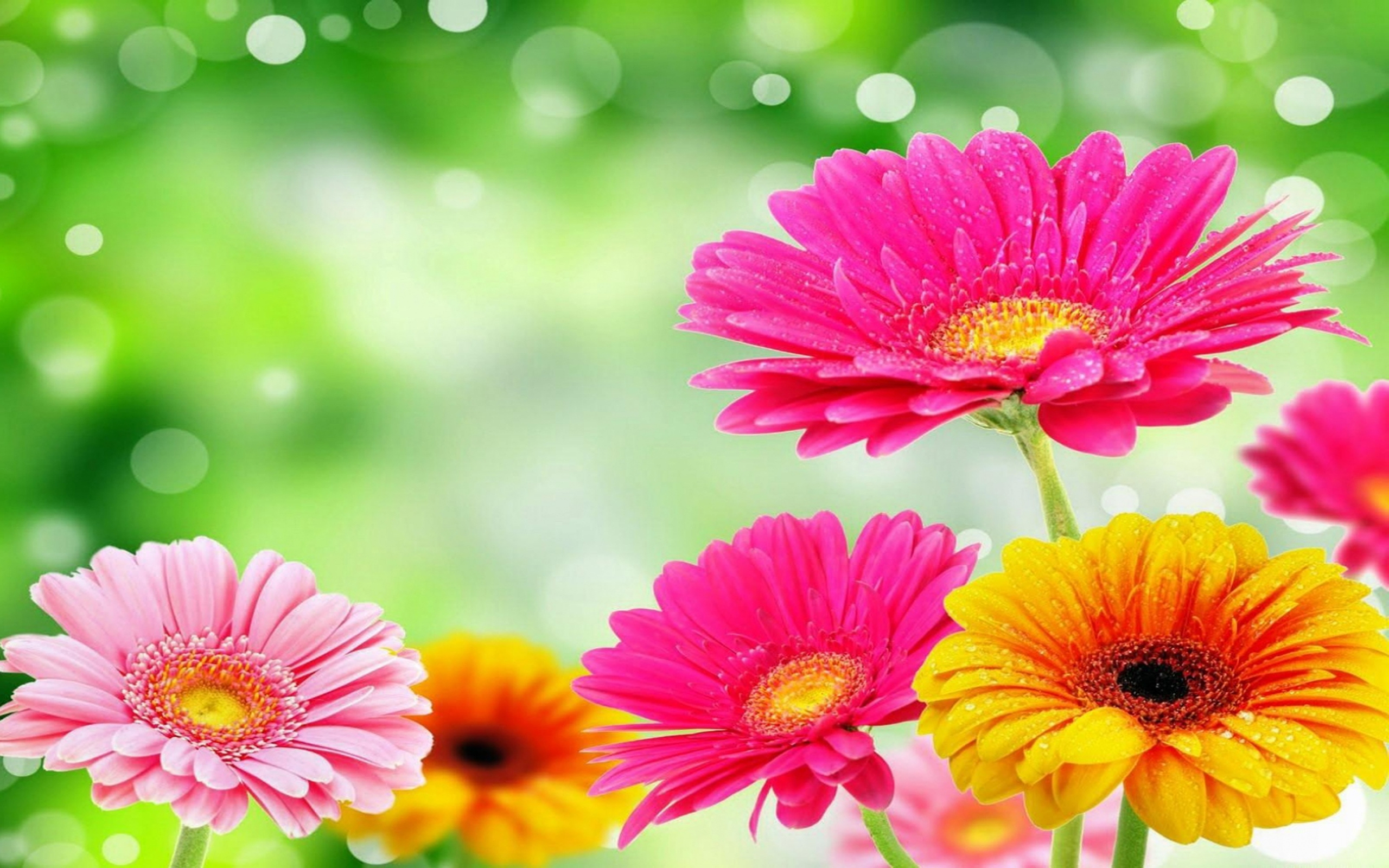 156 gerbera hd wallpapers | background images - wallpaper abyss