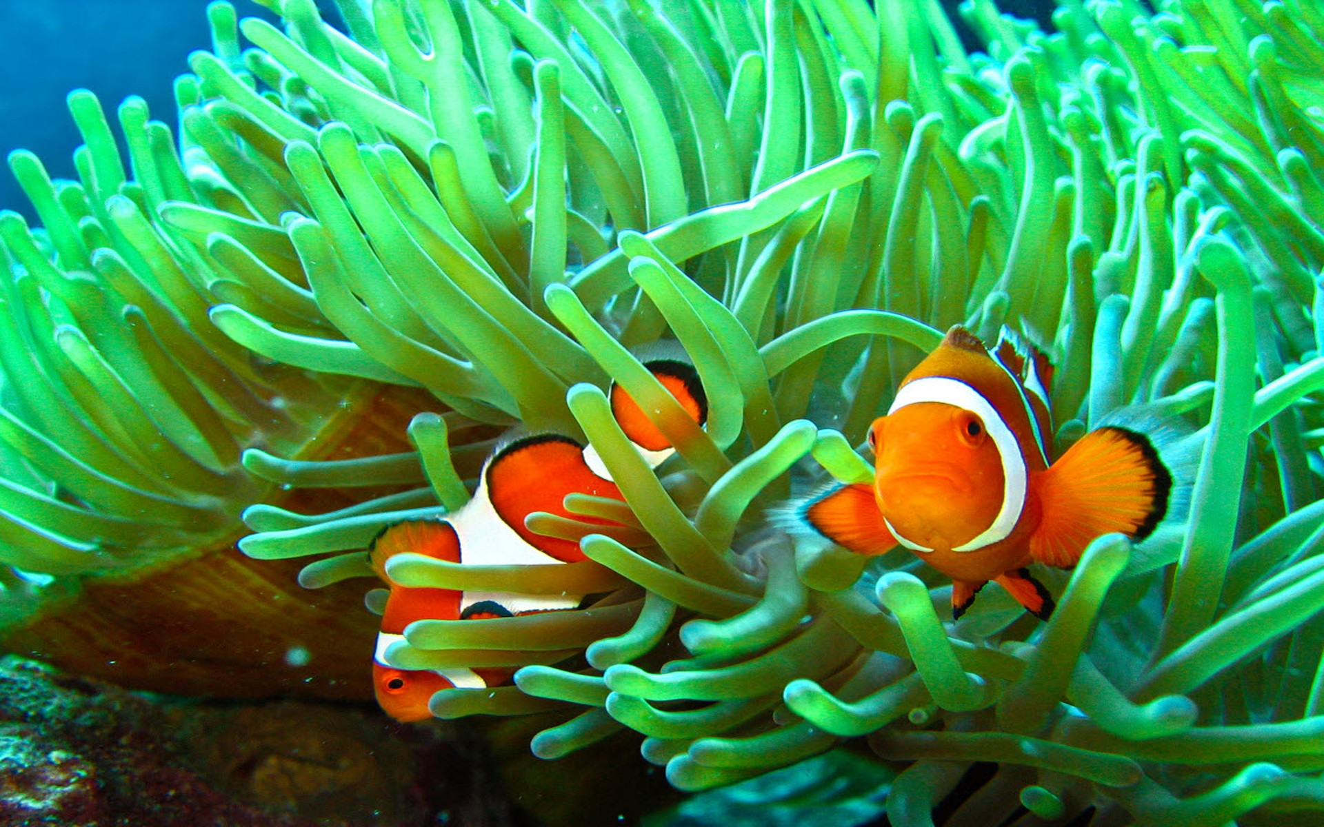 Two Clownfish in Sea Grass Full HD Wallpaper and ...