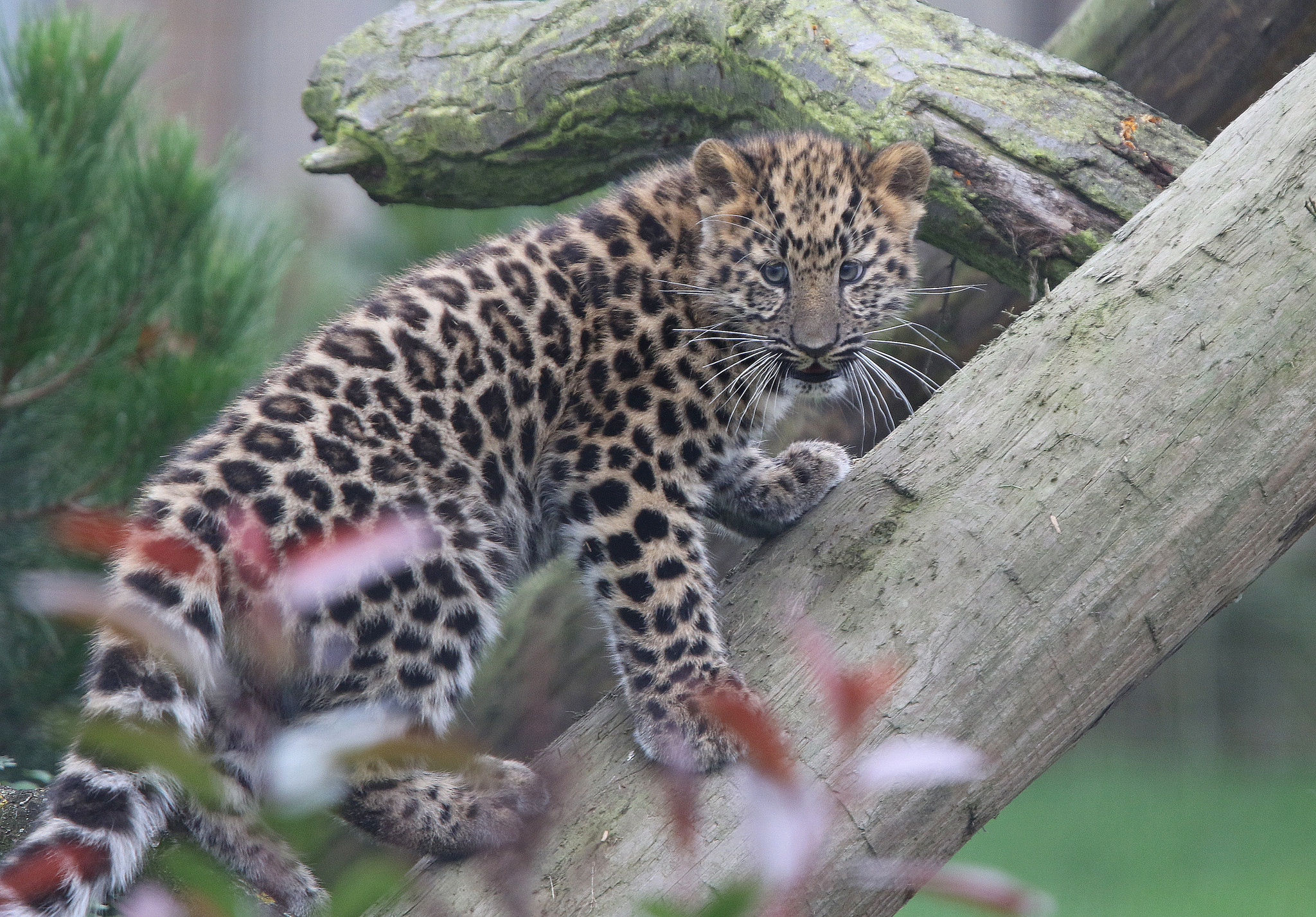 wallpaper amur leopard animal - photo #6