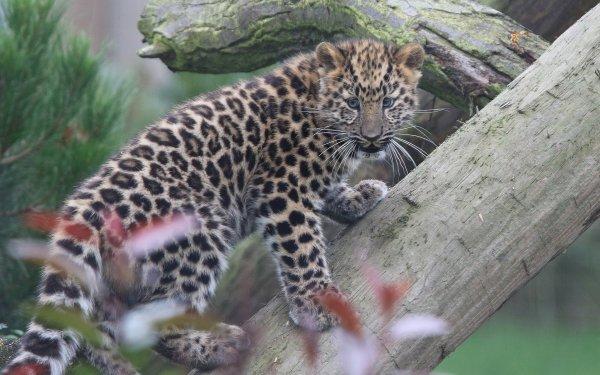 Animal Leopard Cats Big Cat Amur Leopard Cub Baby Animal HD Wallpaper | Background Image
