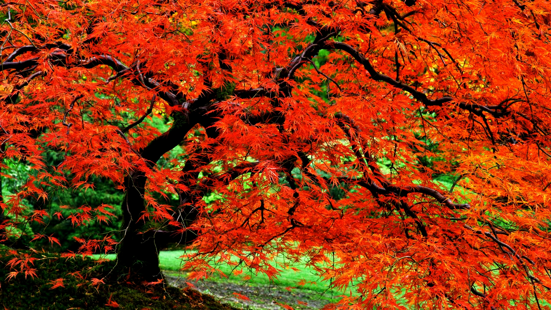 autumn tree in japanese garden full hd wallpaper and background