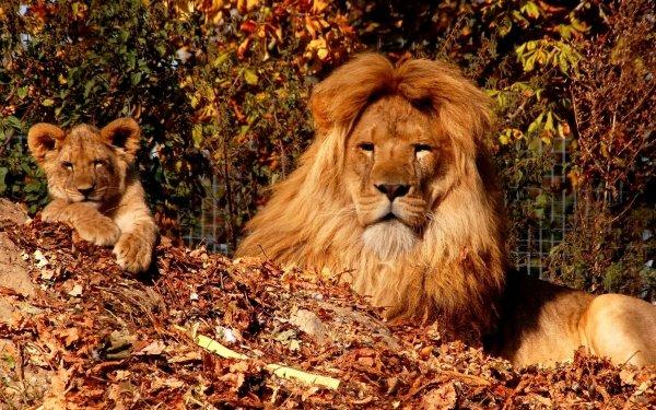 Animal Lion Cats Cub Big Cat HD Wallpaper   Background Image