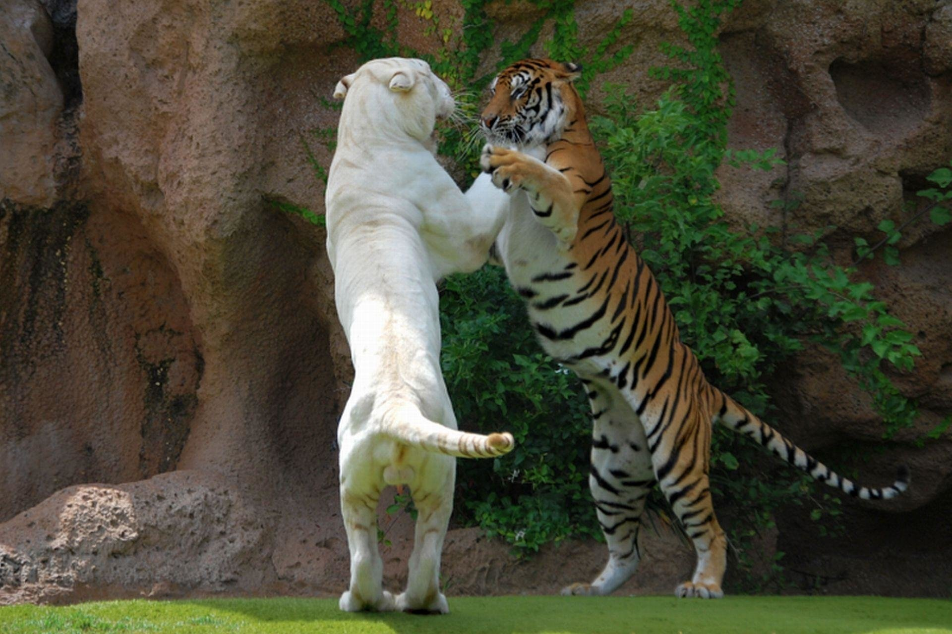 Animal - Tiger  Animal White Tiger Wallpaper