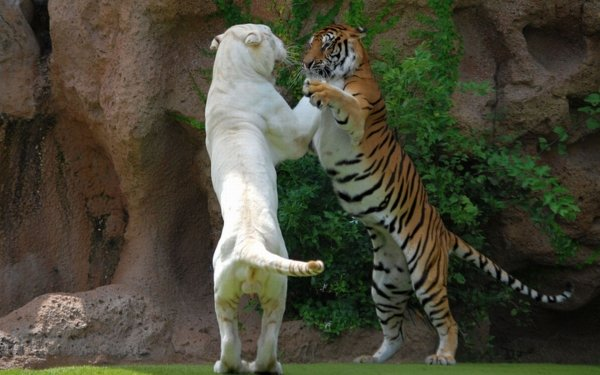 Animal Tiger Cats White Tiger HD Wallpaper   Background Image