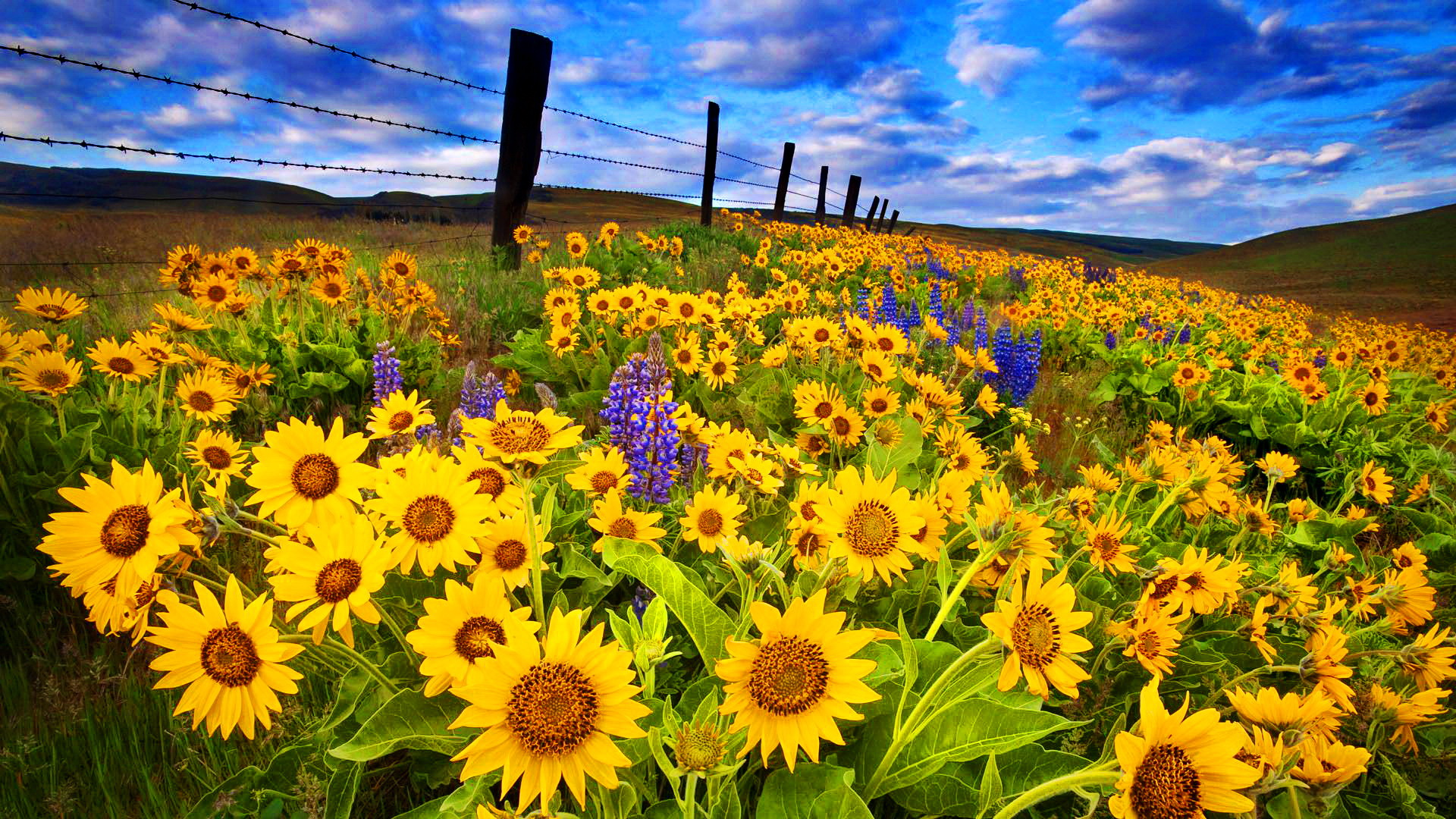 Sunflowers Growing On The Side Of Road Full HD Wallpaper And