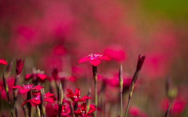 Earth Carnation Flowers Flower Pink Flower Bokeh Nature Wildflower HD Wallpaper | Background Image