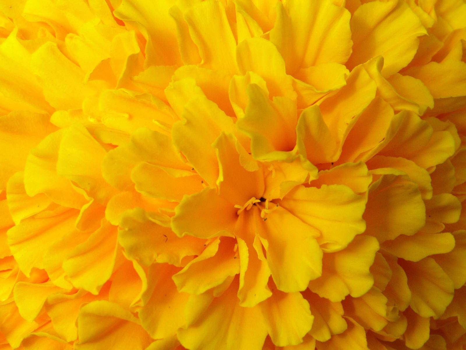 Yellow Flower Wallpapers ID694299