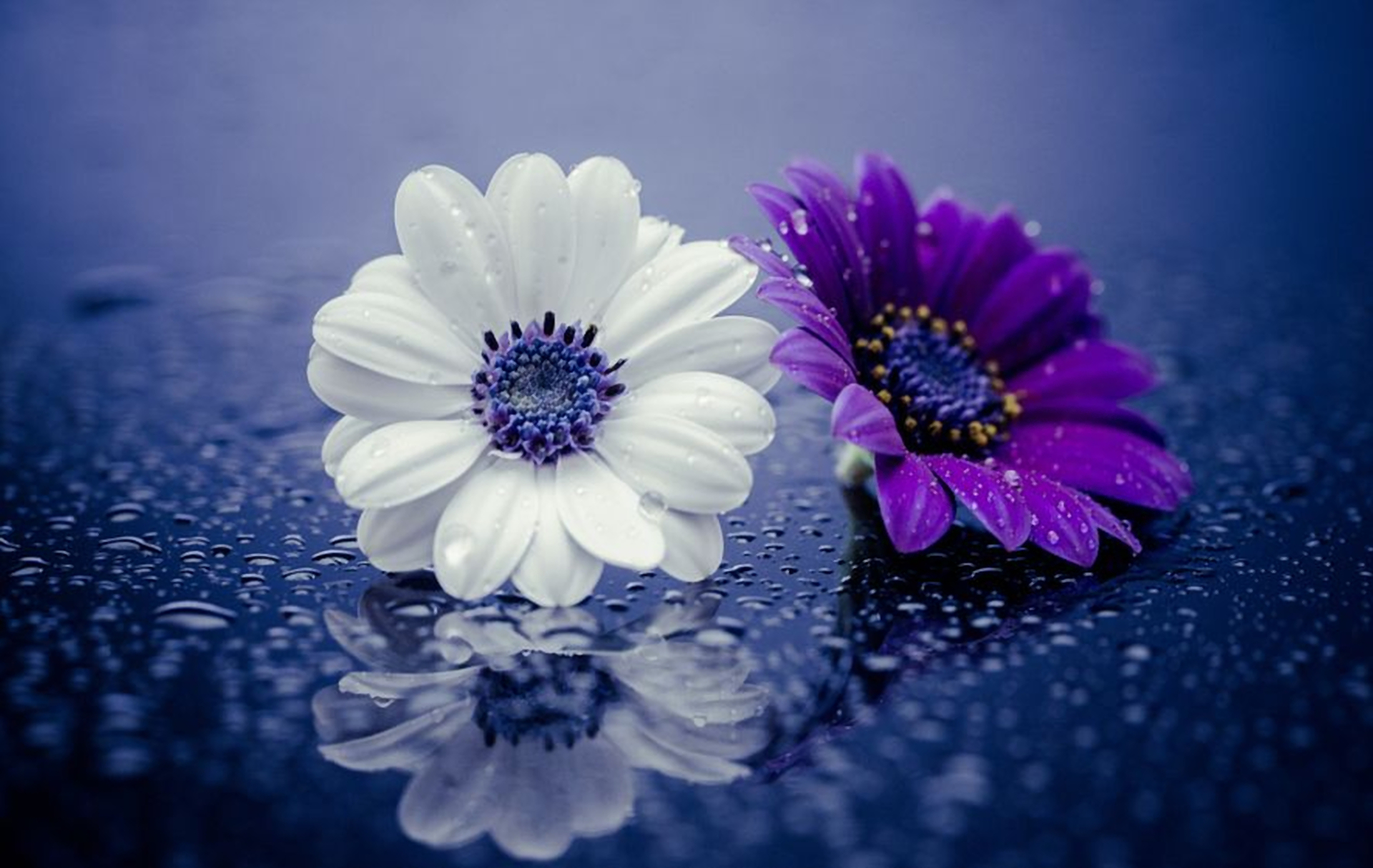 wet purple and white daisies hd wallpaper background
