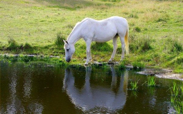 Animal Horse Lake Reflection Pond HD Wallpaper | Background Image