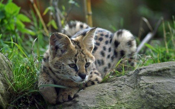 Animal Serval Cats Wildlife Cat predator HD Wallpaper   Background Image