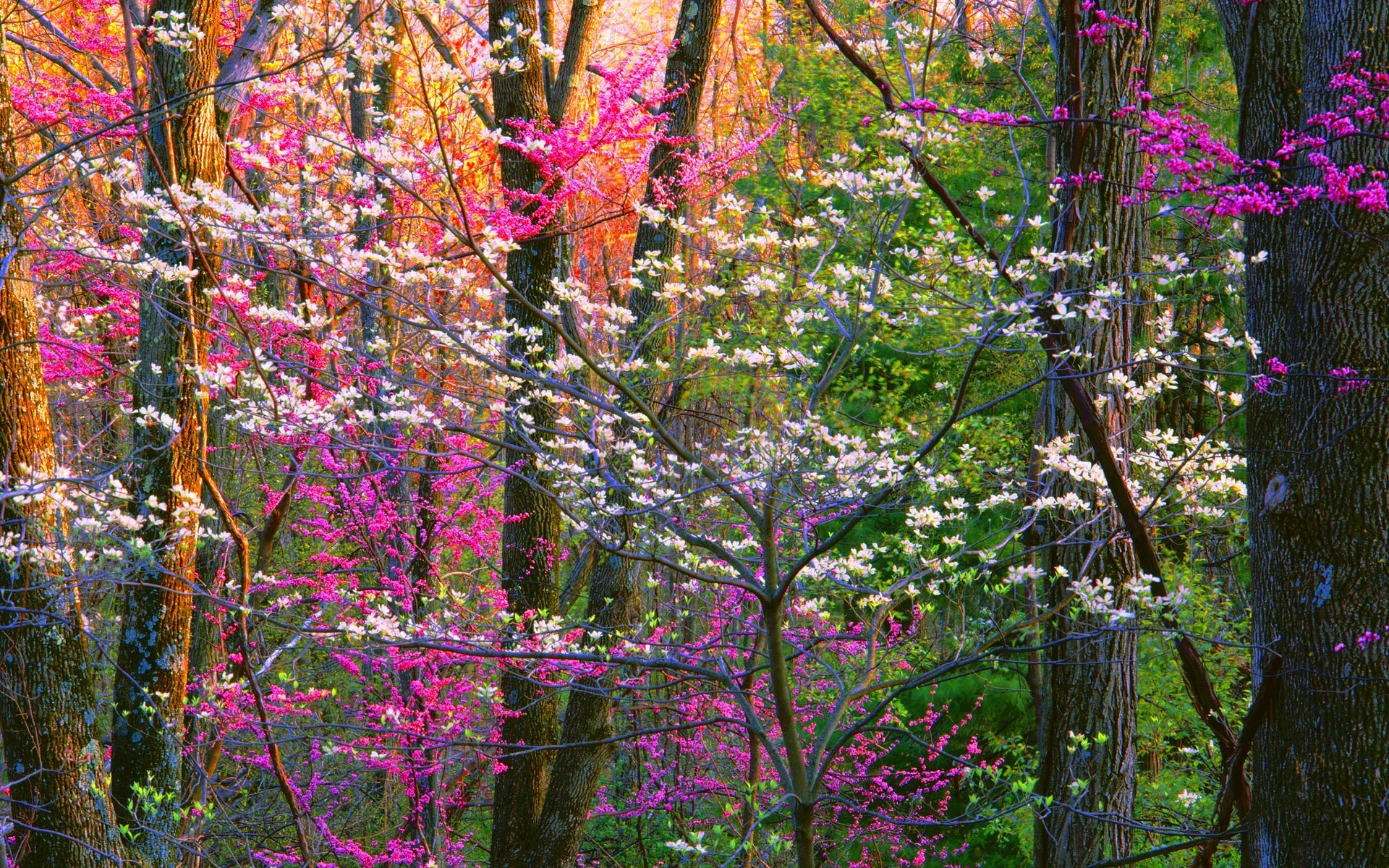 Earth - Spring  Earth Tree Flower Blossom Pink Flower Forest Wallpaper