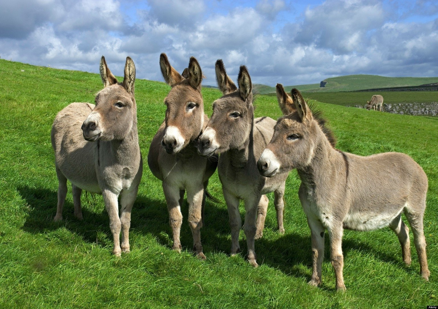 15 Donkey HD Wallpapers