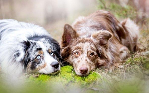 Animal Dog Dogs Australian Shepherd Lying Down HD Wallpaper   Background Image