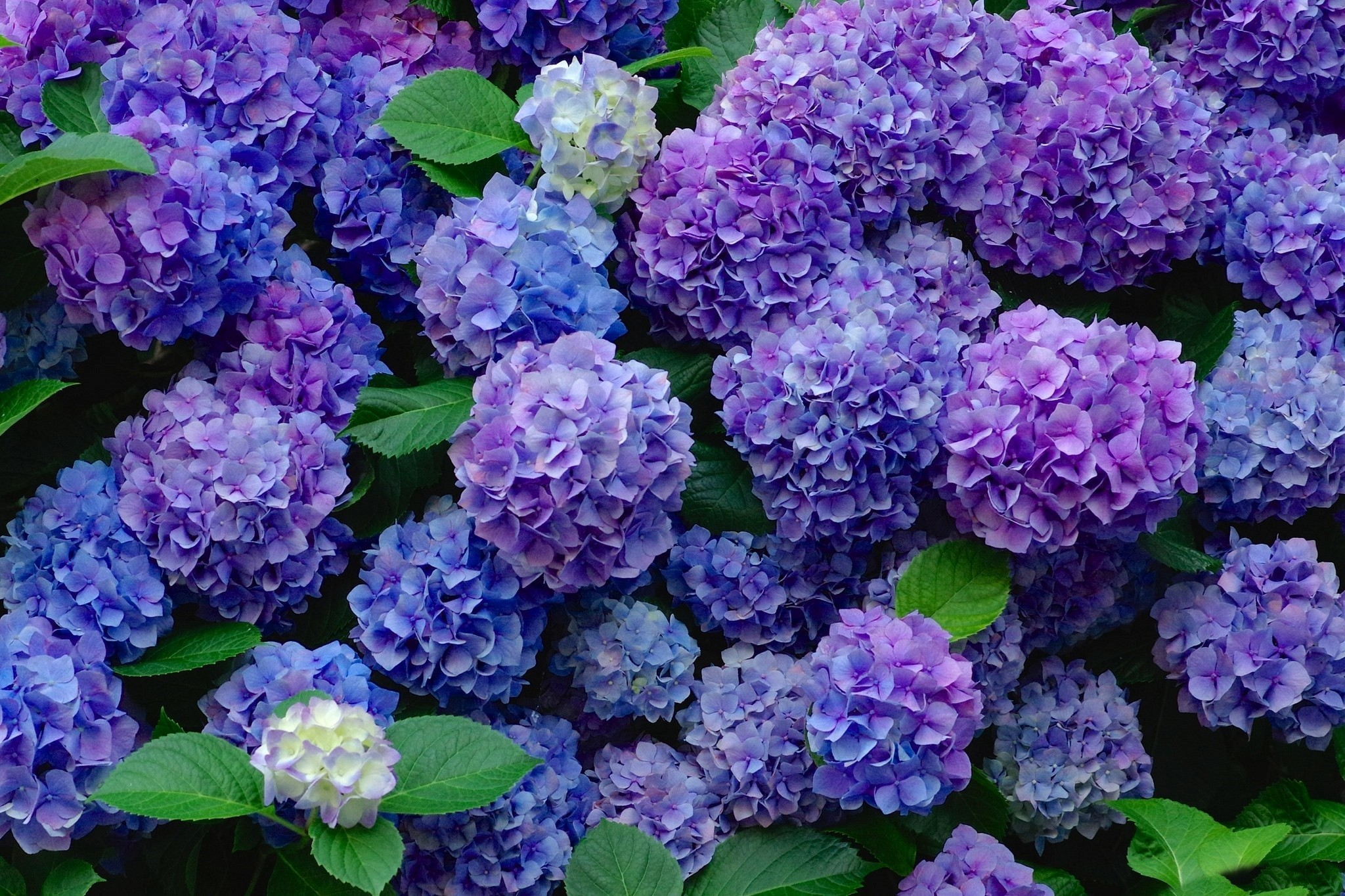 Blue And Purple Hydrangeas Hd Wallpaper Background Image
