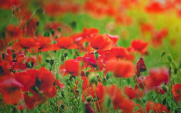 Earth Poppy Flowers Flower Red Flower Summer Blur Nature HD Wallpaper | Background Image