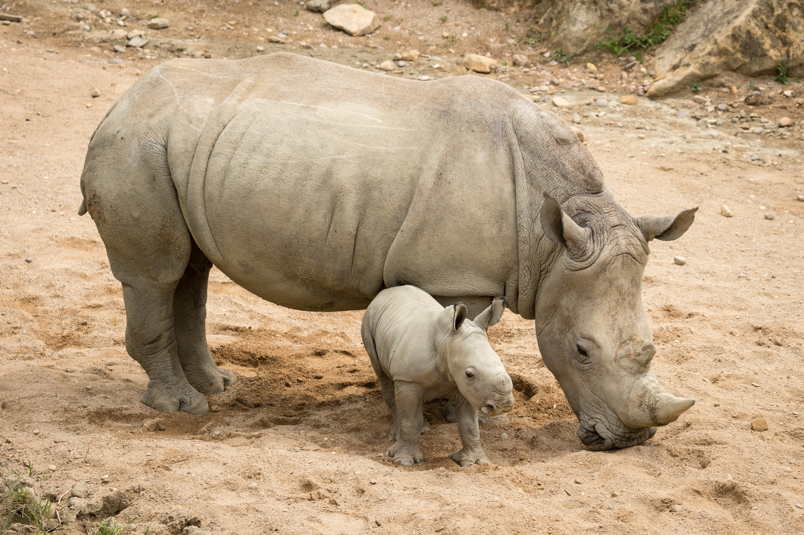 rhino hd wallpaper background image 2560x1706 id