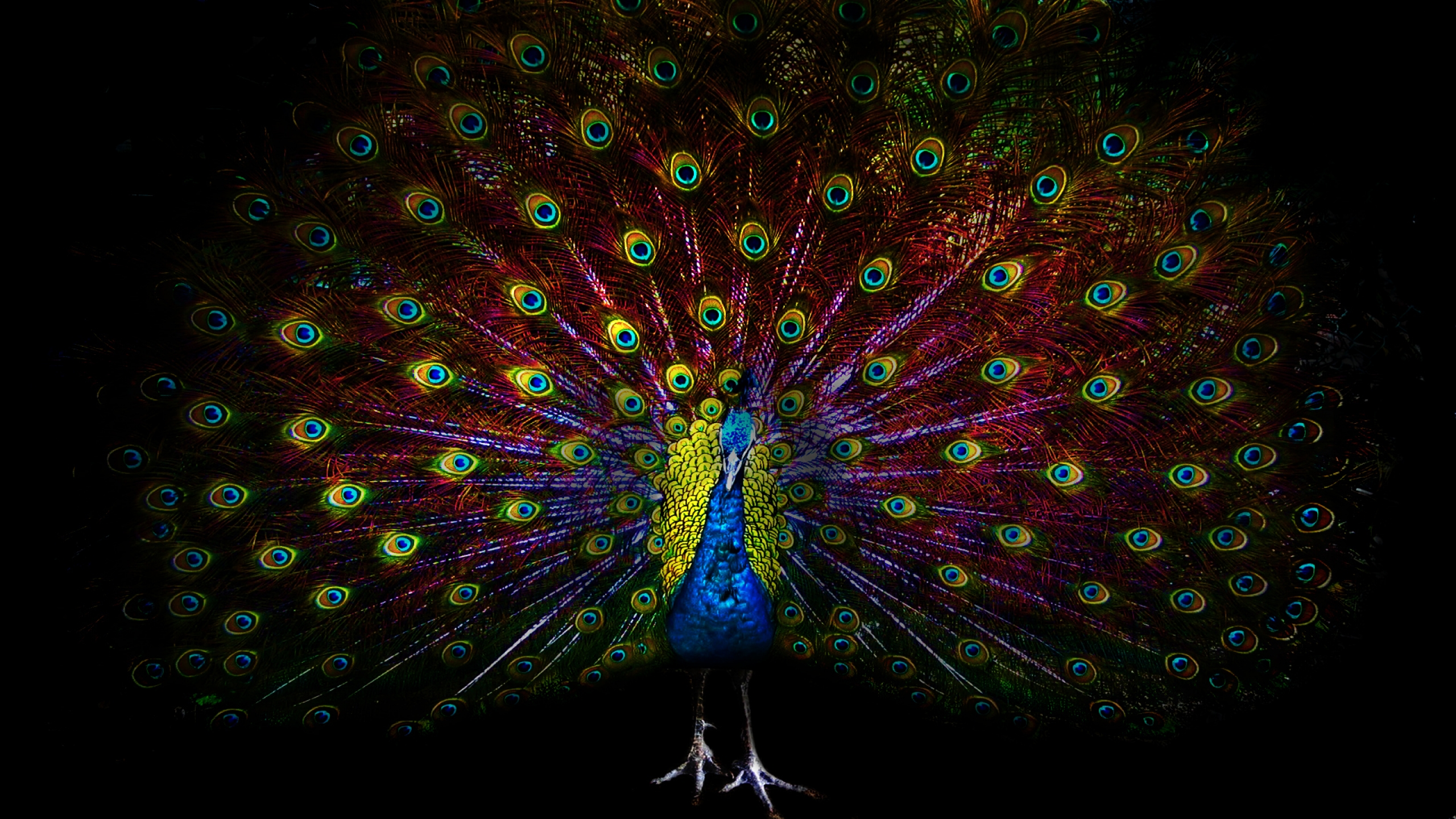 peacock hd wallpaper background image 2560x1440 id 727004