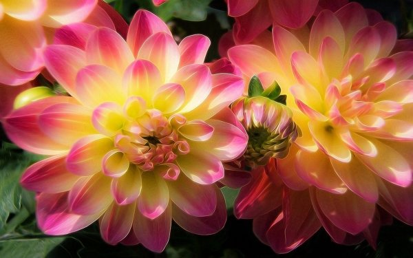 Artistic Painting Flower Dahlia Pink Flower HD Wallpaper | Background Image