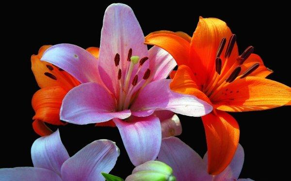 Earth Lily Flowers Close-Up Purple Flower Orange Flower HD Wallpaper | Background Image